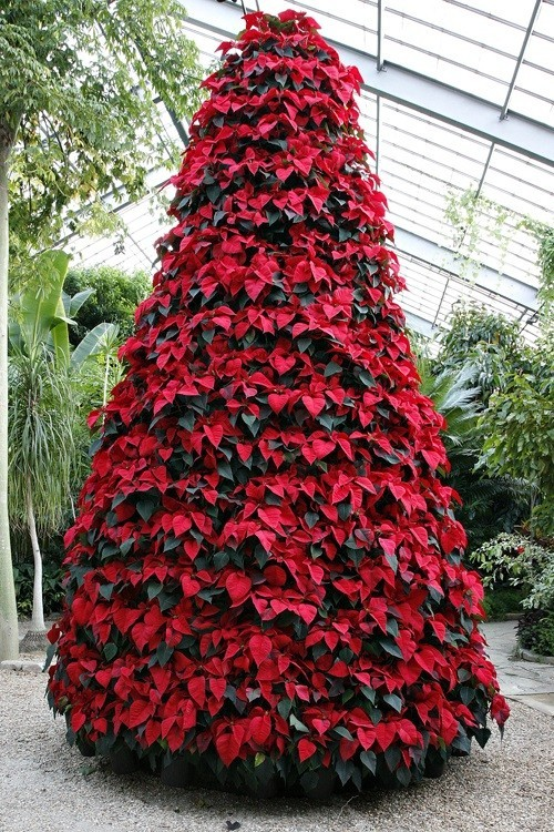 Poinsettia as a Christmas tree