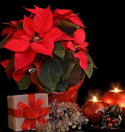 Christmas star Poinsettia